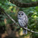 Barred owl on branch at Inniswood