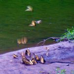 Tiger swallowtails gather to drink from puddle at Three Creeks