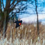 Red-winged blackbird about to take flight from wetland rushes at Battelle Darby Creek