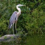 Great blue heron stands on rock at edge of pond at Pickerington Ponds