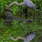 Great blue heron perfectly reflected in water of Ashton Pond at Blacklick Woods