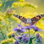 Painted lady butterfly on New England asters at Highbanks