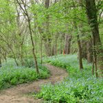 Wooded trail runs through a field of bluebells at Scioto Grove