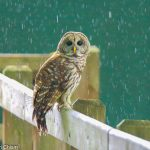 Rain drops pour over a barred owl perched on a fence at Blendon Woods
