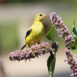 American goldfinch eats seeds from purple flowers at Inniswood