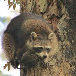 Racoon perched high in a tree at Inniswood