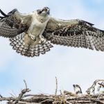 Osprey flies back to its nest at Scioto Audubon as another osprey looks up from the nest