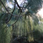 Close up of pine needles on tree at Inniswood