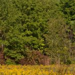 Field of bright yellow goldenrod with background of tall trees at Blacklick Woods
