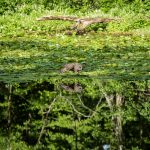 Barred owl swoops to surface of Ashton Pond while fishing at Blacklick Woods