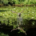 Barred owl swoops down and catches fish at Ashton Pond in Blacklick Woods