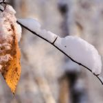 SIngle beech tree leaf left on a snow-covered branch at Highbanks