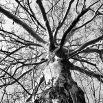 Looking up at a sycamore tree at Walnut Woods