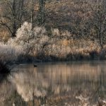 Peaceful winter scene at Pickerington Ponds with single waterfowl swimming on the pond