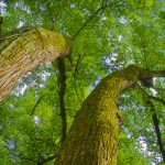 Silver maple trees seen from below at Highbanks