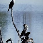 Cormorants gather on a dead tree in Ellis Pond at Pickerington Ponds