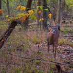 Young buck in autumn woods at Blacklick Woods
