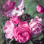 Pink roses at Inniswood