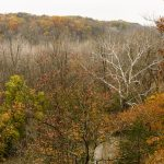 Sycamore stands out in trees bordering Big Darby Creek seen from overlook deck at Battelle Darby Creek