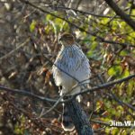 Red-tailed hawk in trees at Blendon Woods surveys the scene for food