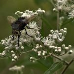Tachinid fly on tall boneset flowers at Blacklick Woods