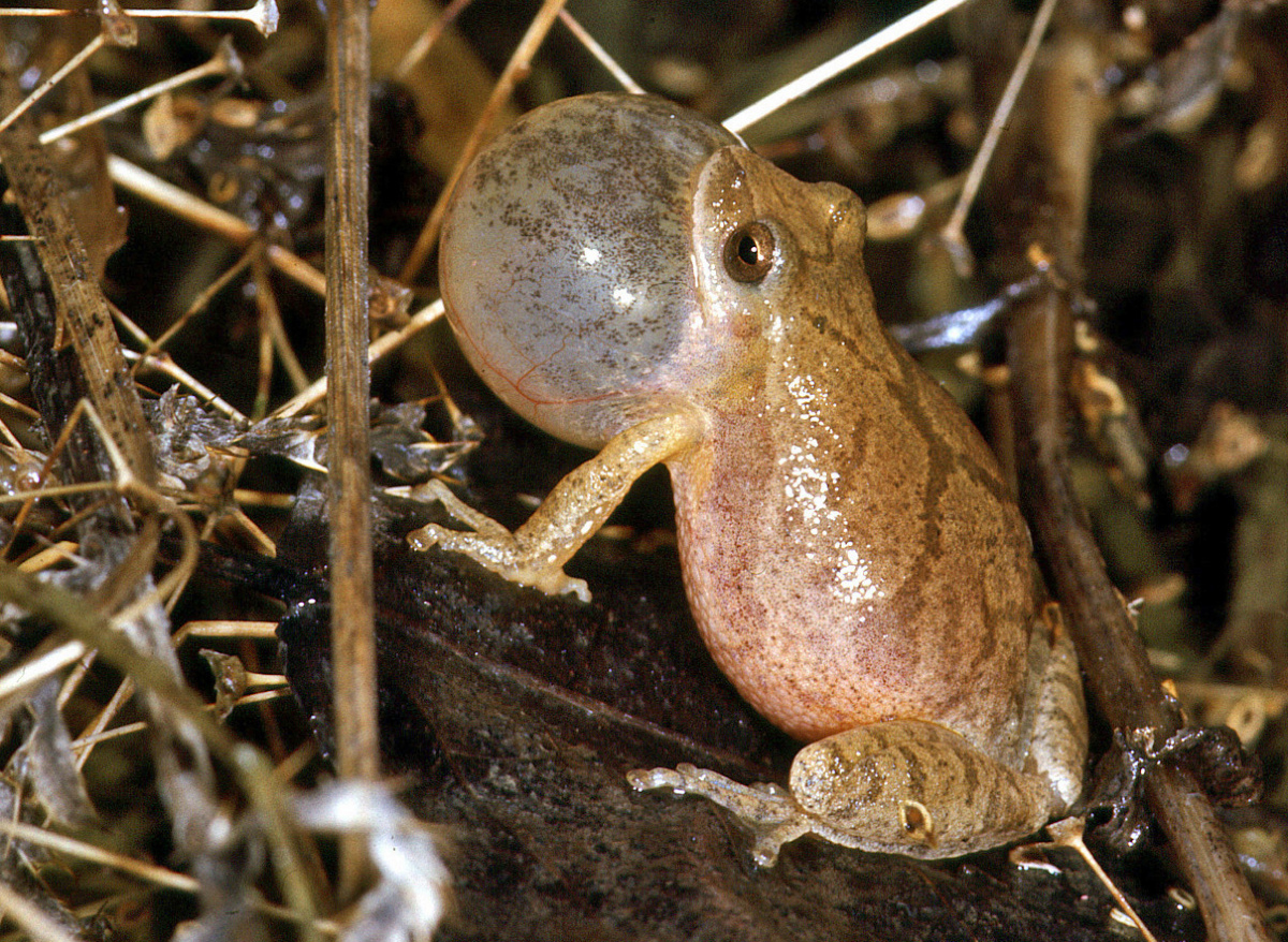 Spring peeper with a fully distended vocal sac signs for a mate