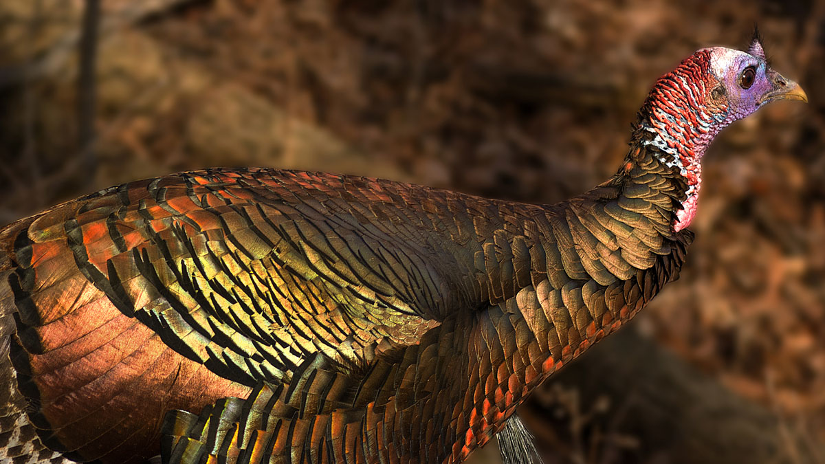 Turkeys at Blendon Woods and other parks are now common and are a sight to behold, with their brilliant bronze or gold coloring