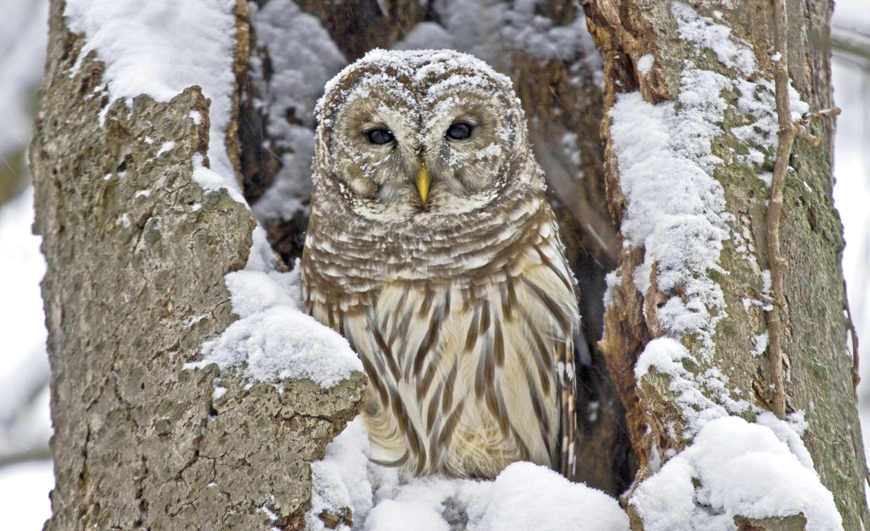 Barred owl perches in snowy tree nest