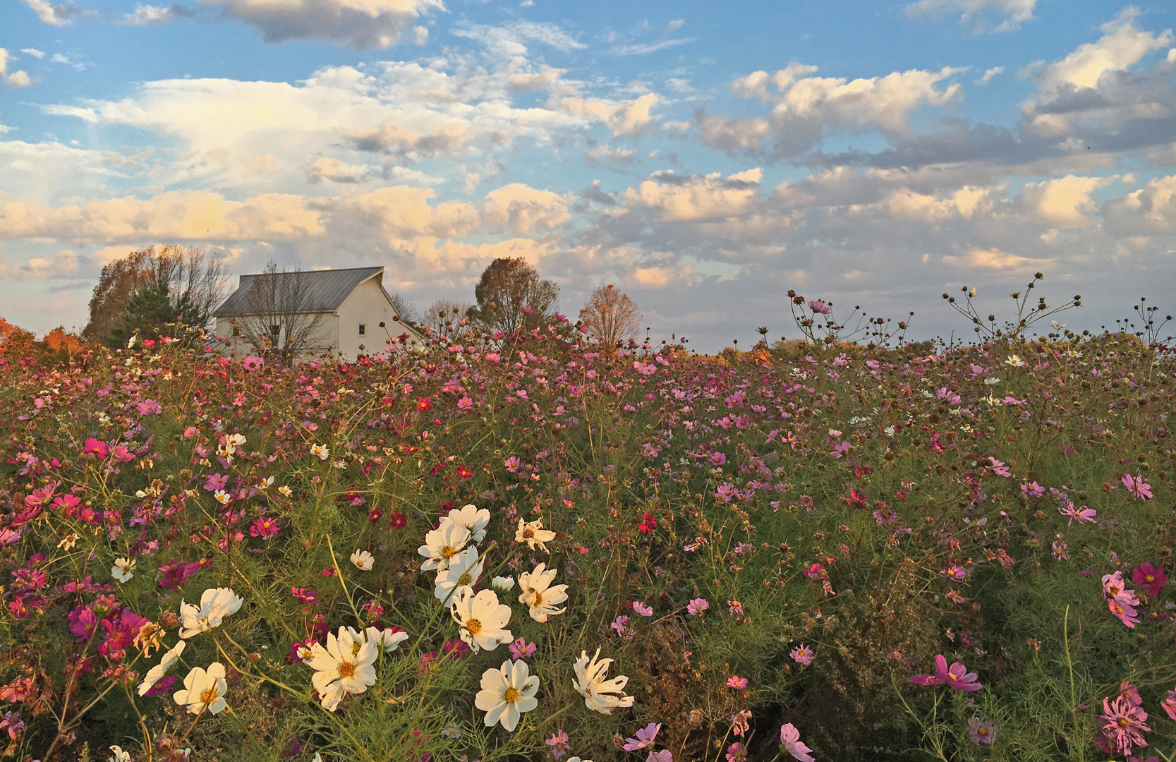 Picture this. Huge spread of pink and white flowers in a field at Homestead Metro Park.
