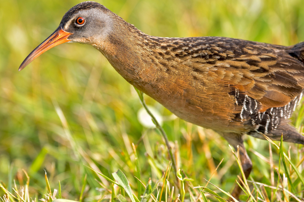 A Virginia rail at Battelle Darby Creek from the bird photography files of Adam Brandemihl