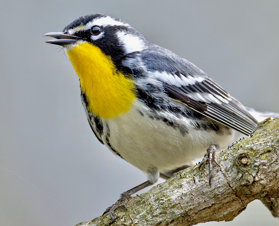 Yellow-throated warbler from the bird photography files of Adam Brandemihl