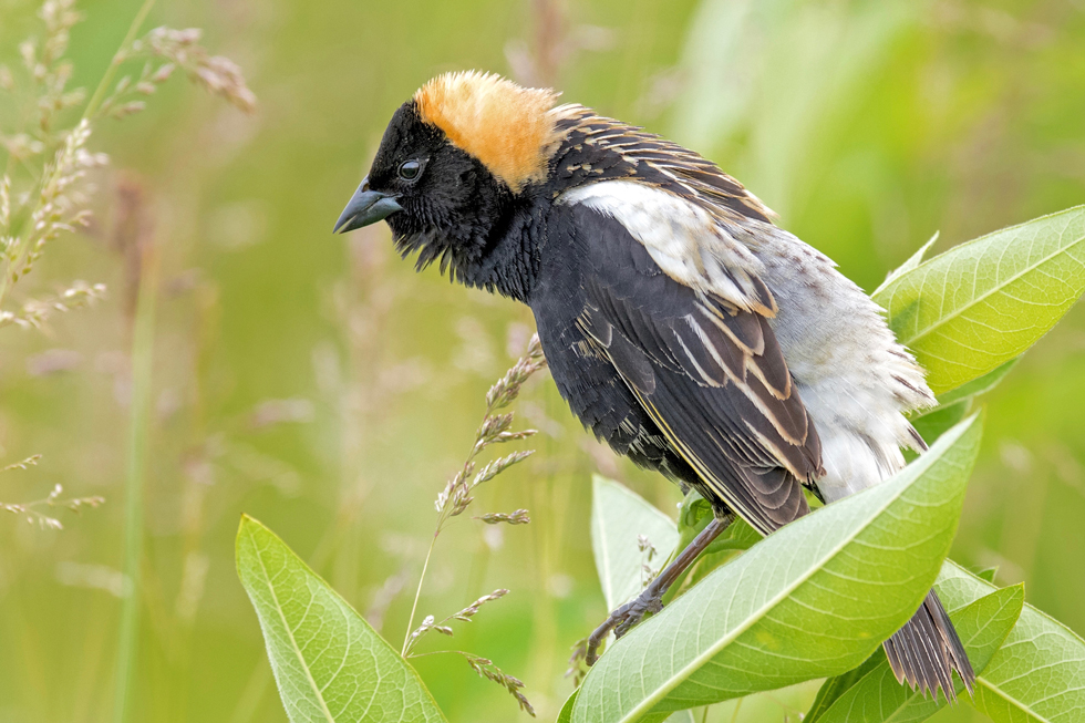 Bobolink at Glacier Ridge Metro Park, from the bird photography files of Adam Brandemihl