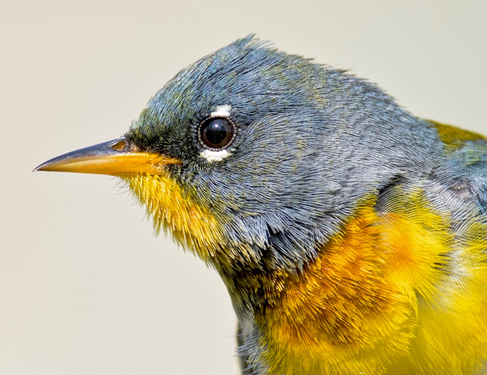 Close up of a northern parula at Highbanks Metro Park, from the bird photography files of Adam Brandemihl
