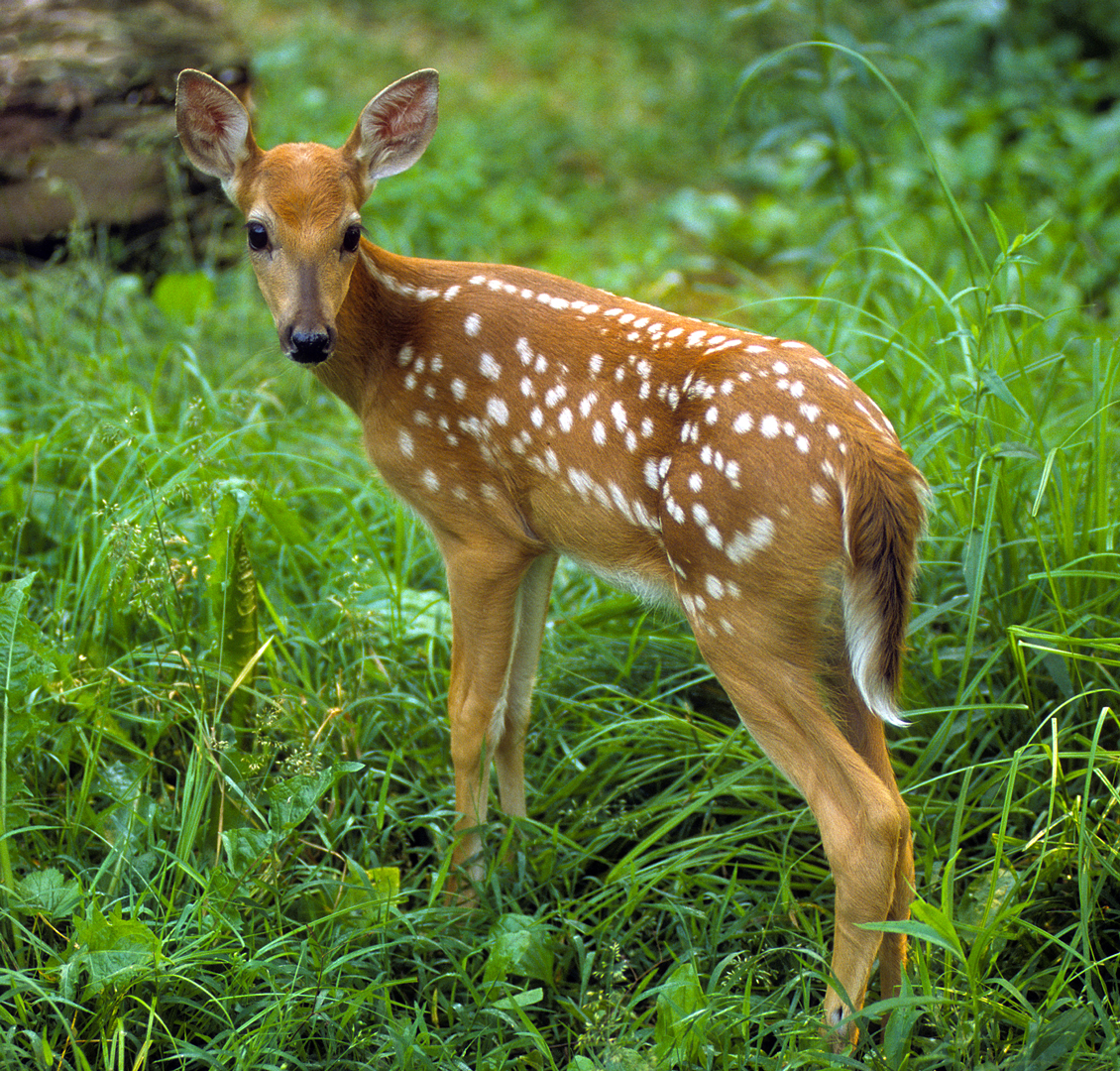 Baby animals are everywhere in the Metro Parks. like this fawn at Sharon Woods