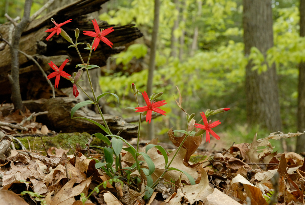 Fire pinks are one of the most striking wildflowers in Metro Parks