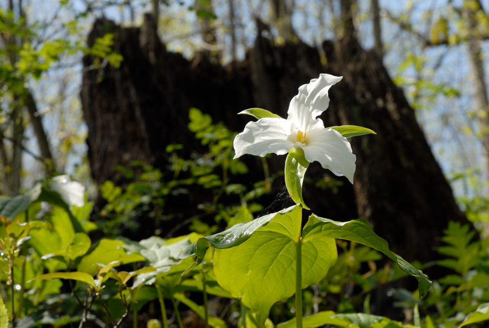Large flowered trillium is one of the most striking wildflowers in Metro Parks woodlands