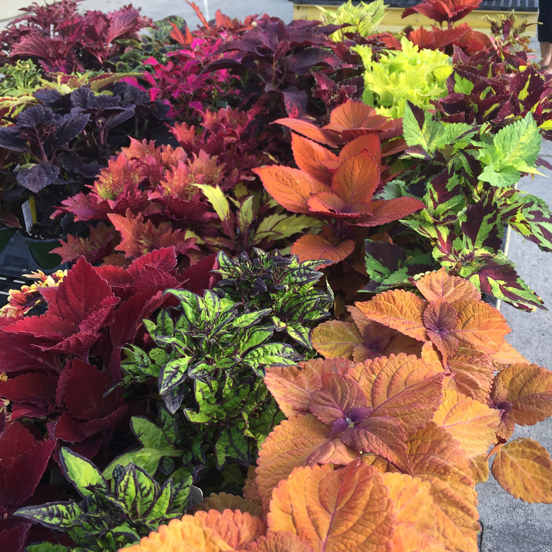 A wide variety of coleus plants at Inniswood Metro Gardens