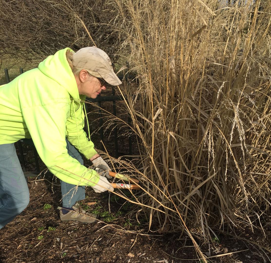 Volunteer cuts back ornamental grasses at Inniswood Metro Gardens
