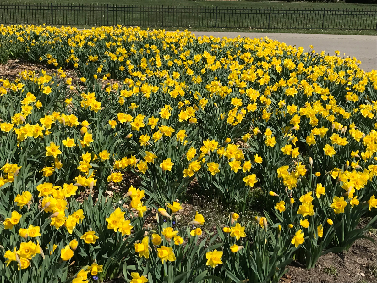 Bed of daffodils at Inniswood Metro Gardens