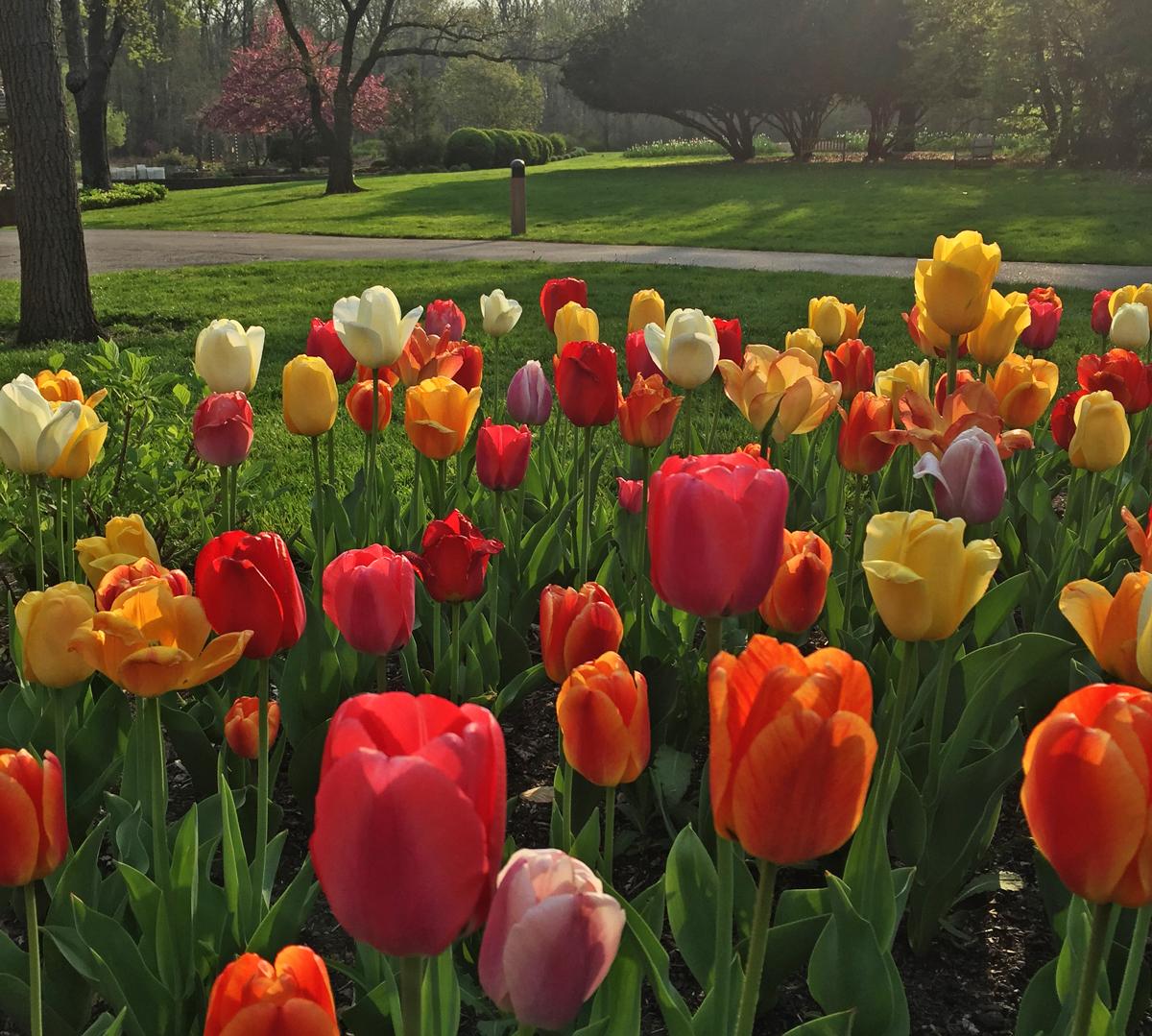 Tulips in bloom at Inniswood Metro Gardens