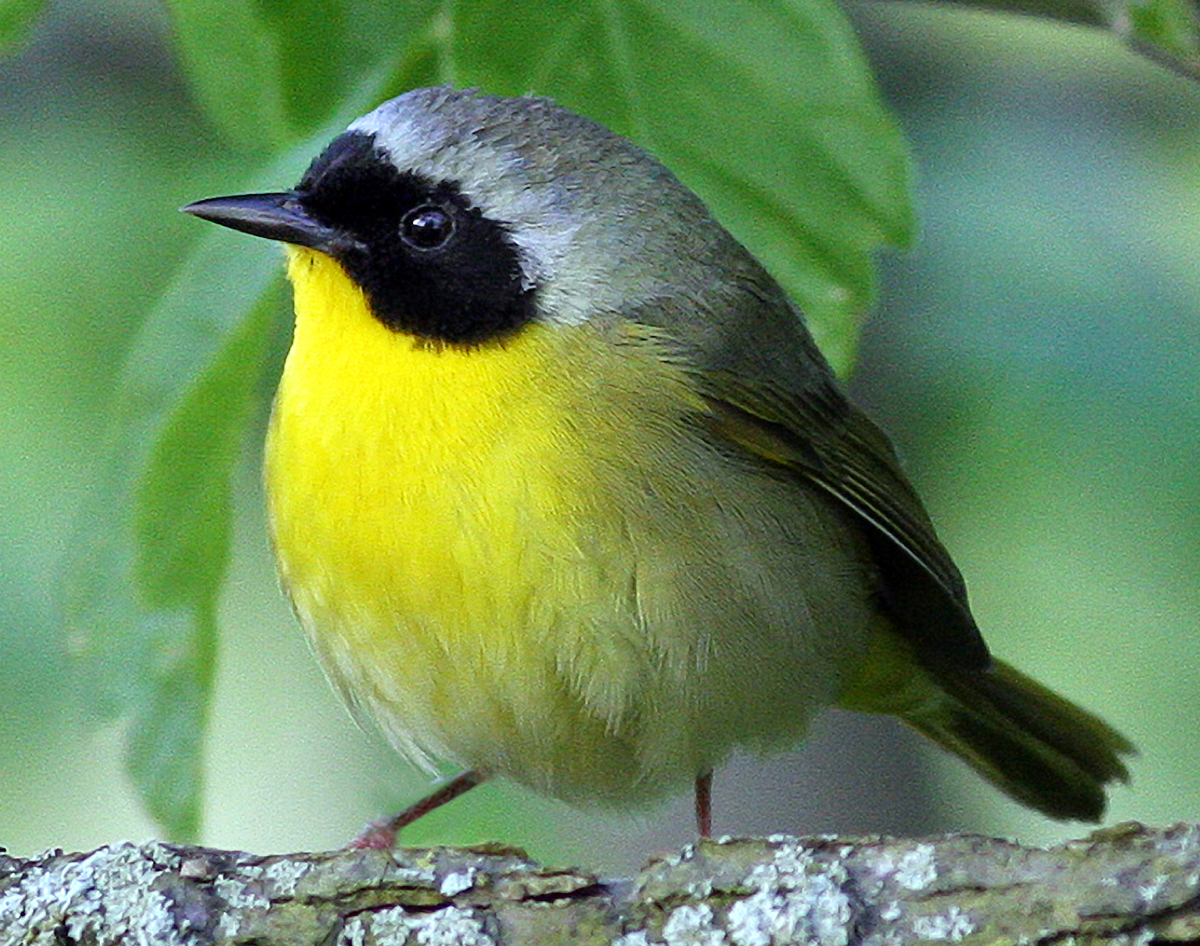 Common yellowthroat, a species of warbler