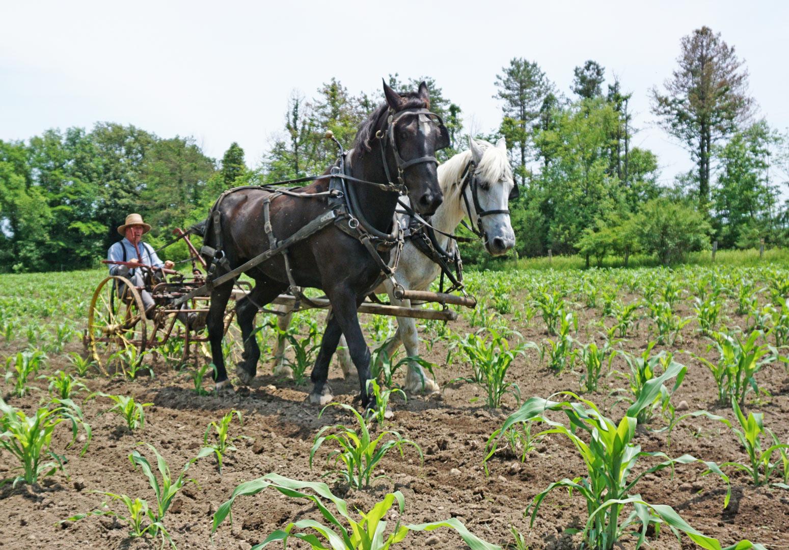 Bob and partner cultivating corn at Slate Run Farm