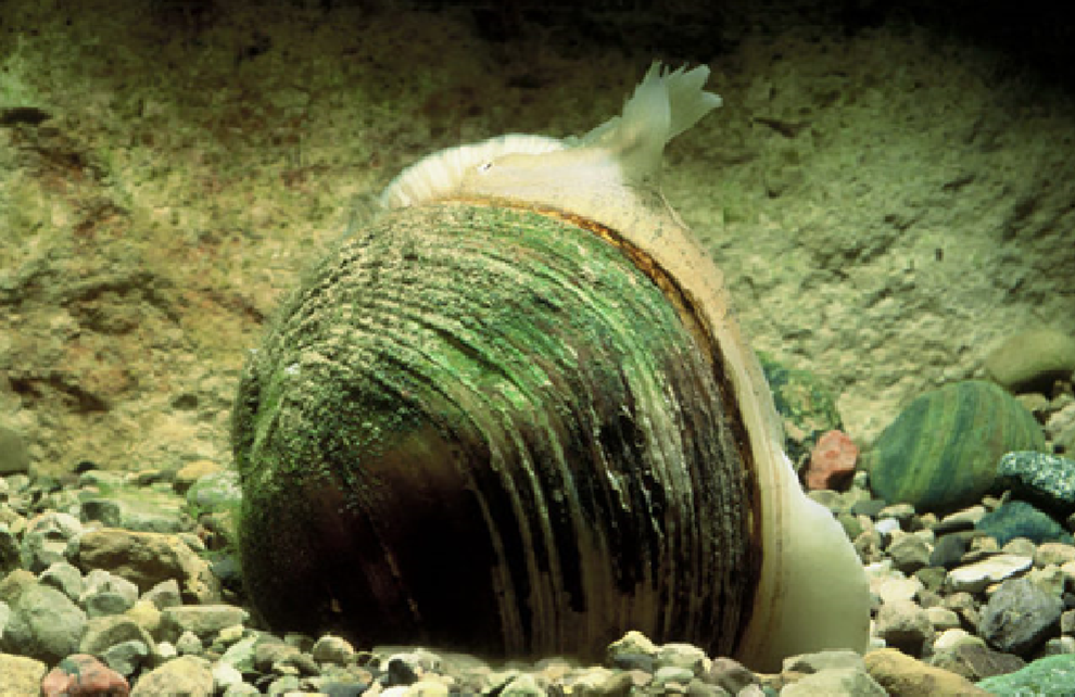 Freshwater mussel with its fish-looking appendage