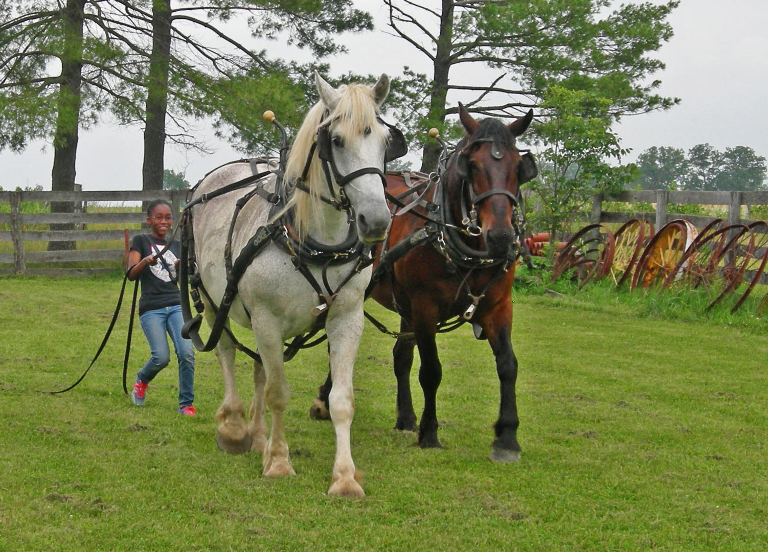 Girl drives Percheron horses on education class at Slate Run Farm