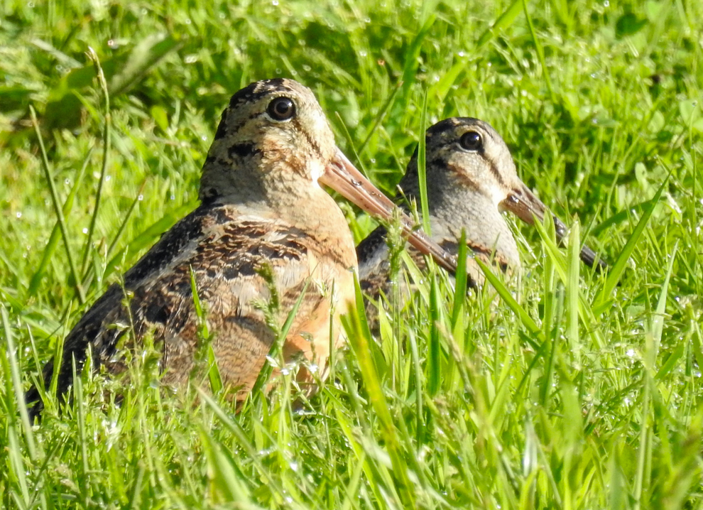 Pair of young woodcocks in meadow at Highbanks