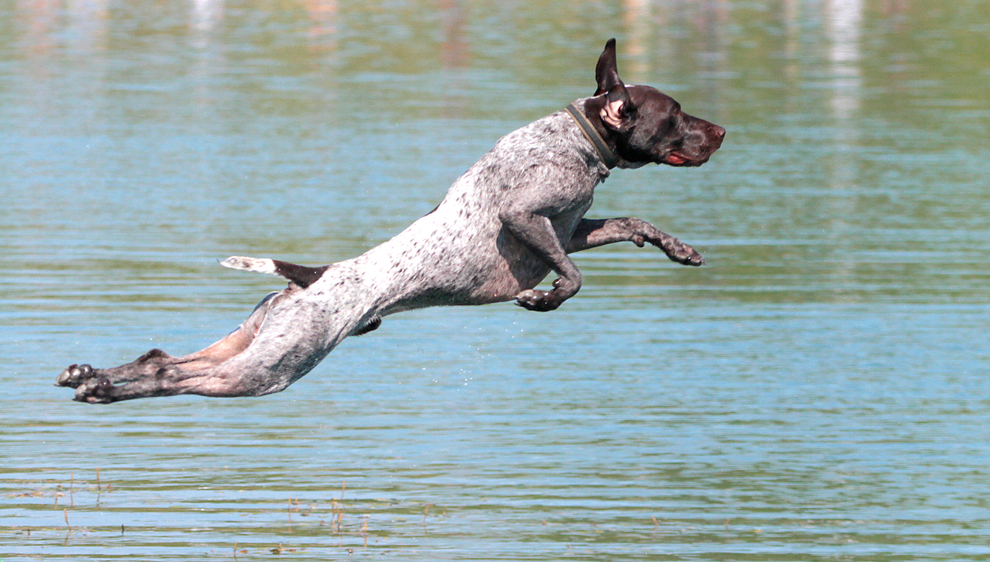 A dog leaps into Darby Bend Lake from the diving dock at Prairie Oaks Metro Park
