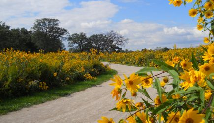 Sunflowers along the trail at Blendon Woods. (Betty Elliot)