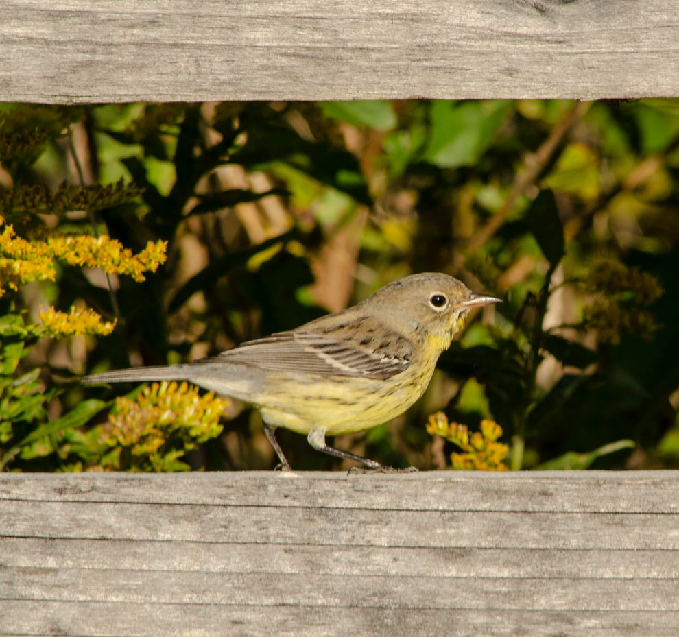 A Kirtland's warbler, a rare species for Central Ohio, sits on a fence rail along a park trail at Battelle Darby Creek Metro Park