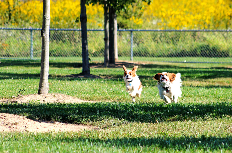 Small dogs in dog park at Walnut Woods