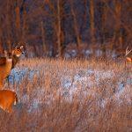 Deer in snowy fields at Prairie Oaks Metro Park